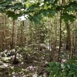 Birkenwald innerhalb der Grundmauern